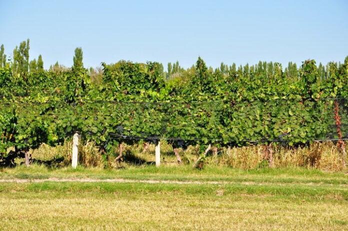 La vitivinicultura busca ampliar en US$ 100 millones sus exportaciones